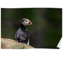 Forlorn Puffin Poster