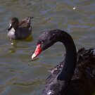 Black swan and a friend by Mariann Rea