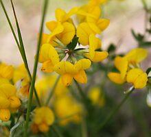 Yellow Birdsfoot Trefoil by SBrown