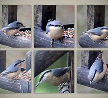 A nuthatch drops in to feed by missmoneypenny