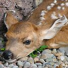 Mule deer fawn by carpenter777