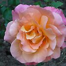 Peach Pink rose by Marie Brown ©