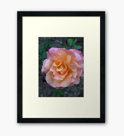 Peach Pink rose Framed Print