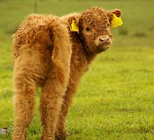 Babycow from Scotland by Sturmlechner