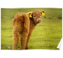 Babycow from Scotland Poster