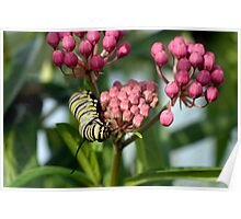 Swamp Milkweed & Monarch Butterfly Caterpiller  Poster