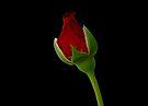 Rose on Black by Sandy Keeton