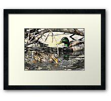 Mallard Drake and Hen Framed Print