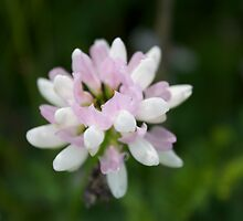 Pink and White Trifolium Repens by SBrown