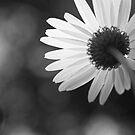 Daisy #4 by Kasia Fiszer