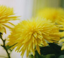 Chrysanthemum by Till-absurde