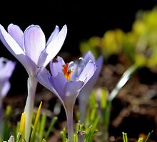 Crocus by Kathleen Daley