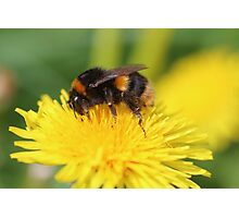 Buff-tailed Bumble Bee on Dandelion Photographic Print