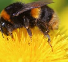 Buff-tailed Bumble Bee on Dandelion Sticker