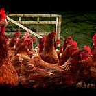 The Chook Run Gate. by Lynne Haselden