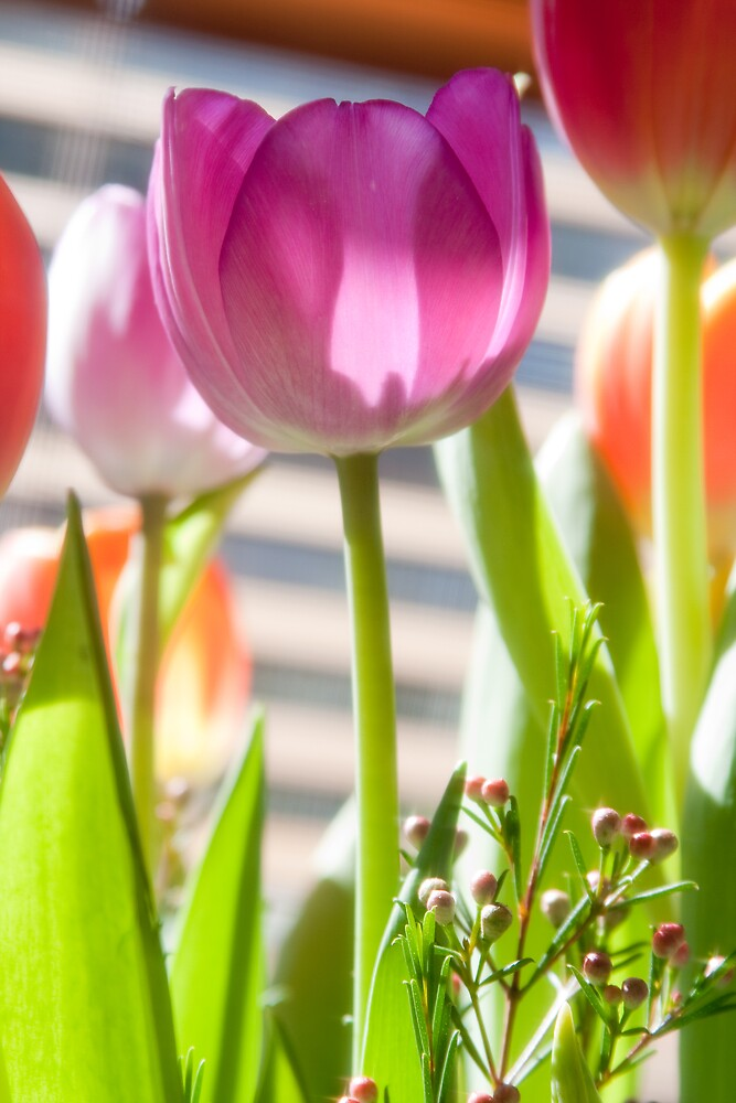 Tulips 3 by JohnW