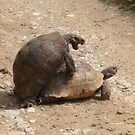 Gagging for It - Mating Turkish Tortoises  by taiche