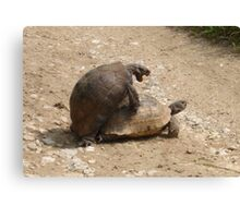 Gagging for It - Mating Turkish Tortoises  Canvas Print