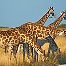 Giraffes' formation by Konstantinos Arvanitopoulos