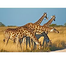 Giraffes' formation Photographic Print