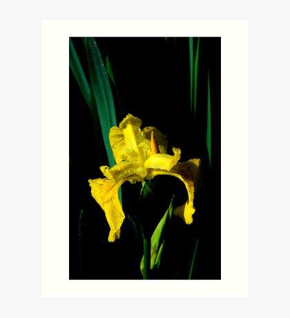 Riparian Iris Art Print