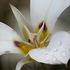 Sego Lily (Trilium) by Arla M. Ruggles