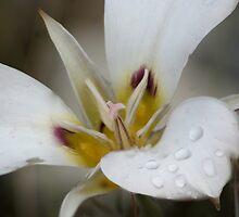 Sego Lily (Trilium) by Arla M. Ruggles