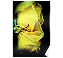 Two yellow roses Poster