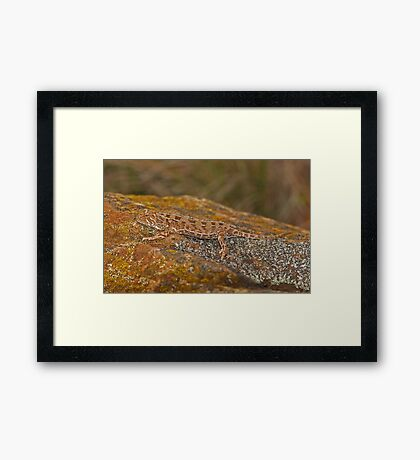 Grassland Earless Dragon - Tympanocryptis pinguicolla  Framed Print