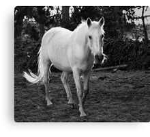 White Pony Canvas Print