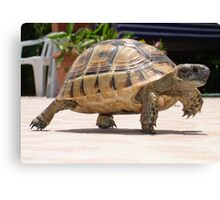 Marching Baby Tortoise  Canvas Print