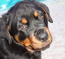 Rottweiler Pup by taiche