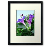 Purple and Pink Budding Bindweeds Againt Leaves Framed Print