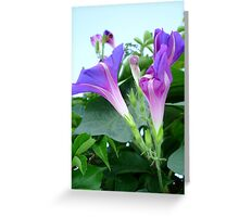 Purple and Pink Budding Bindweeds Againt Leaves Greeting Card