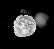 rose in the dark. by heartwork