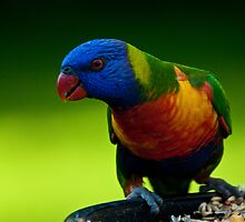 Rainbow Lorikeet by Daniel Spruce