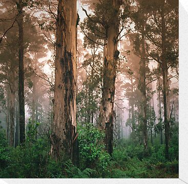 Mountain Grey Gum forest, Mount Macedon. by Ern Mainka