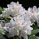 White Rhododendron by LoneAngel