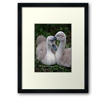 Cygnet Siblings Framed Print