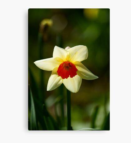 Backlit Narcissus Canvas Print
