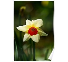 Backlit Narcissus Poster