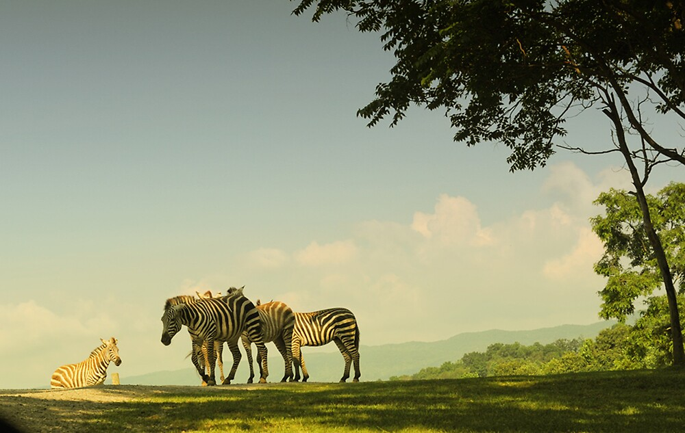 Zebras by Faye White