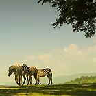 Zebras by Faye White