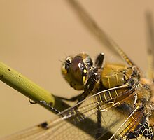 Four spotted chaser by Jon Lees