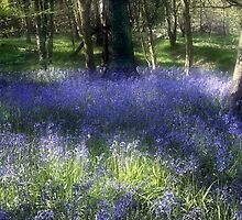 More Bluebells by Ann Garrett