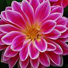 Pink Dahlia by William Sanford