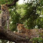 Female leopard and cub by Dean Wraith