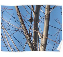 Two Male Sky Finches Poster