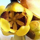 Wintersweet  - highly perfumed bush by Bev Pascoe