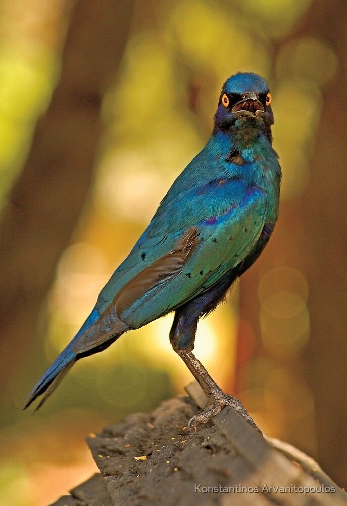 Cape Glossy Starling (Lamprotornis nitens) by Konstantinos Arvanitopoulos